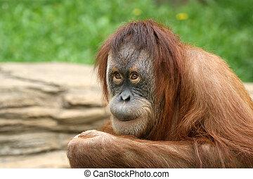 large image of the big terrible orangutan