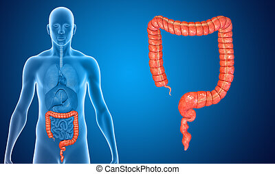 Large intestine - The large intestine is the last part of...