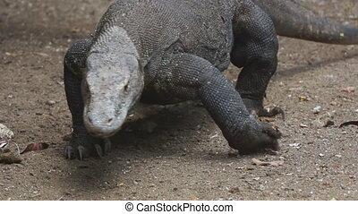large Komodo dragon (close-up)