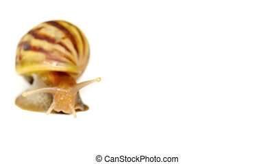 Large Land Snail Crawling across a White Background