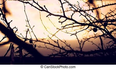 large landscape macro branch bud pear silhouette sunset...