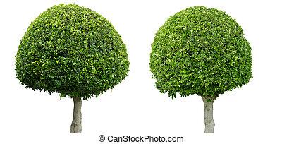 large leaved boxwood tree - Buxus sempervirens Rotundifolia...