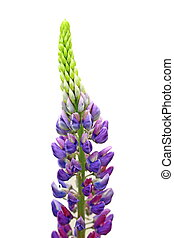 large-leaved lupine flower - large-leaved lupine ( (Lupinus...