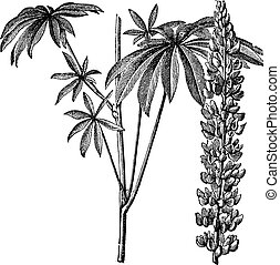 Large-leaved lupine or Lupinus polyphyllus or Big-leaved lupine or Garden lupin or Russell lupin, vintage engraving. Old engraved illustration of Large-leaved lupine isolated on a white background.