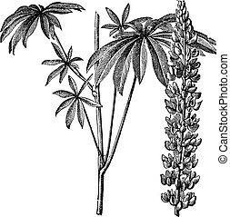 Large-leaved lupine or Lupinus polyphyllus vintage engraving...