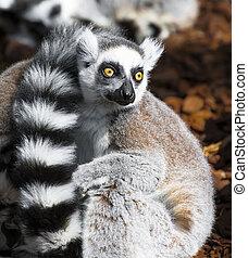 large, lemur, ouvert, yeux
