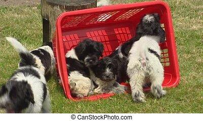 large, lessive, sheepdog, -, espiègle, hollandais, panier, chiots, coup