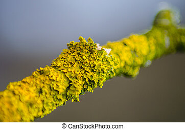large lichen settled on a tree branch