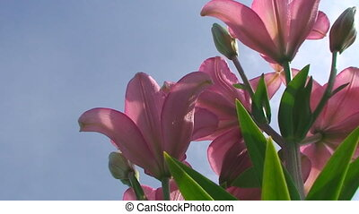 large Lily flower in orange on a blue sky background