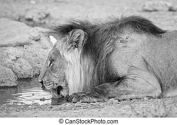 Large lion male drinking water from a small pool in the Kalahari on a hot dry day artistic conversion