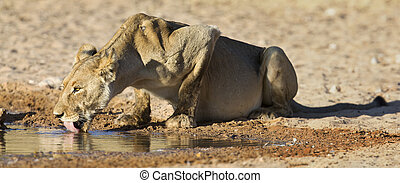 Large lioness drinking water from a small pool in the Kalahari on hot dry day