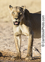 Large lioness standing up after drinking water from a small pool in Kalahari