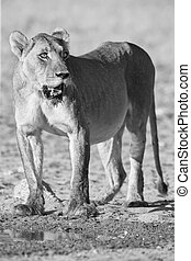 Large lioness standing up after drinking water from a small pool in the Kalahari artistic conversion
