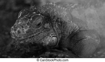 Large lizard, close-up