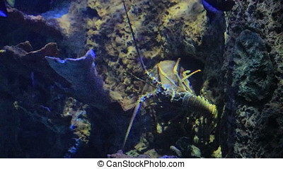 large lobster crawling in salt water tank - large lobster...