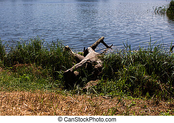 large log on the lake in the forest