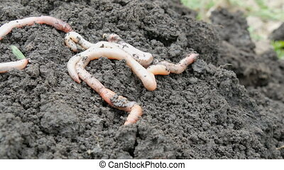 Large long earthworms lie on ground - Large long earthworms...