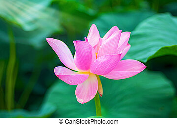 Large lotus flowers bright pink buds of lotus flower stock large lotus flowers bright pink buds of lotus flower floating in the lake mightylinksfo Image collections