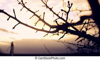 large macro landscape branch bud pear silhouette sunset...