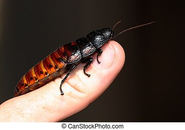 Large Madagascan Hissing Cockroach on a person's thumb