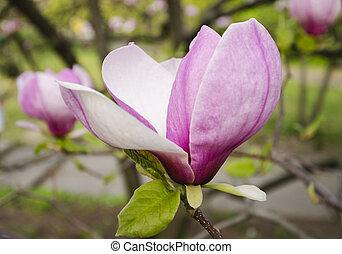 Large magnolia flower