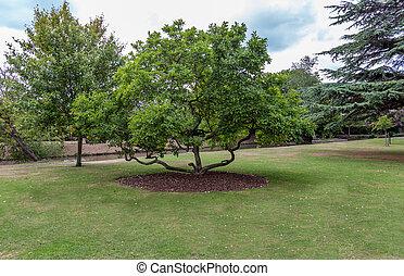 Large magnolia tree in parkland.