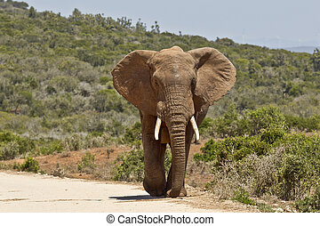 Large male elephant walking along a dirt road
