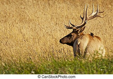 Large Male Elk in a Grass. California Redwood National Forest. Wilderness Photography Collection.