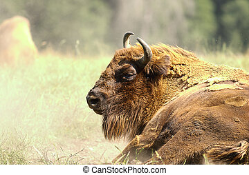 european bison close up