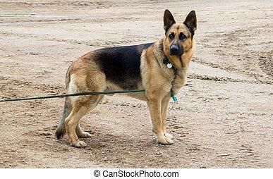 large male german shepherd watching