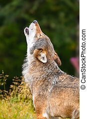 Large male grey wolf howling loud in the forest