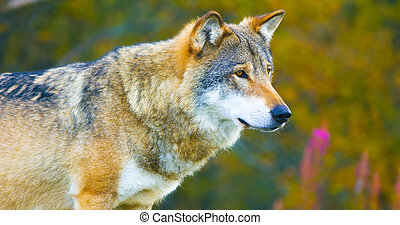 Large male grey wolf in the autumn colored forest
