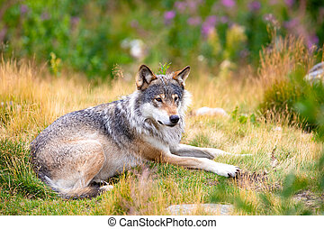 Large male grey wolf laying in a field in the forest