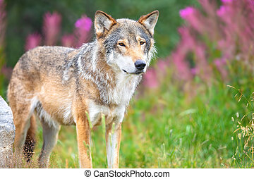 Large male grey wolf standing in a field in the forest