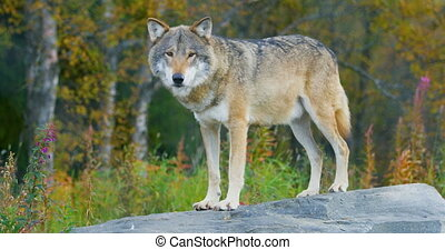 Large male grey wolf standing on a rock in the forest - Male...