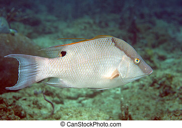 Large Male Hogfish Swimming over a coral reef.