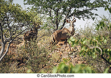 Large male Kudu in the wild, Kunene region, Namibia, Africa