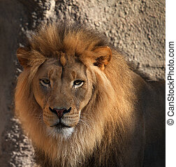 Lions head - Large male Lions head looking at camera with ...