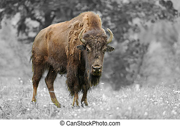Black and white photography with color bison