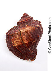 Large marvellous brown seashell. Beautiful souvenir from...