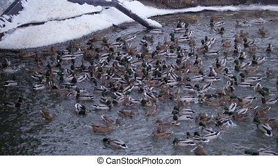 Large migrating group of ducks on cold frozen lake in city...