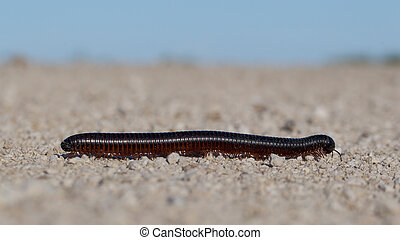 Large millipede, Africa