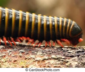 Large millipede walks along a branc - In the rainforest...