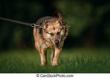 large mixed breed dog walking on a leash in summer