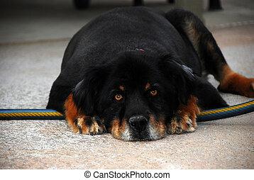 Large mongrel dog. - Large mongrel dog shaggy with long hair...