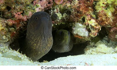Large moray eel sitting along the reef in search of food. Amazing, beautiful underwater marine life world of sea creatures in Maldives. Scuba diving and tourism.