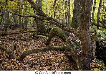 Large moss wrapped oak tree lying