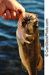Large Mouth Bass - Close up image of male holding large...