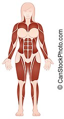 Large Muscle Groups Female Body Front View