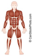 Large Muscle Groups Male Body Front View